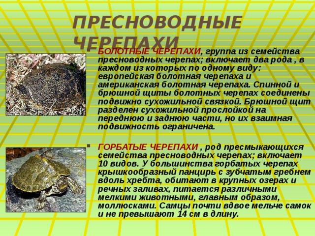 ПРЕСНОВОДНЫЕ ЧЕРЕПАХИ БОЛОТНЫЕ ЧЕРЕПАХИ , группа из семейства пресноводных черепах; включает два рода , в каждом из которых по одному виду: европейская болотная черепаха и американская болотная черепаха. Спинной и брюшной щиты болотных черепах соединены подвижно сухожильной связкой. Брюшной щит разделен сухожильной прослойкой на переднюю и заднюю части, но их взаимная подвижность ограничена.