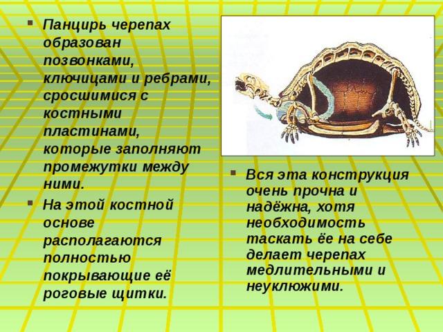 Панцирь черепах образован позвонками, ключицами и ребрами, сросшимися с костными пластинами, которые заполняют промежутки между ними. На этой костной основе располагаются полностью покрывающие её роговые щитки. Вся эта конструкция очень прочна и надёжна, хотя необходимость таскать ёе на себе делает черепах медлительными и неуклюжими.