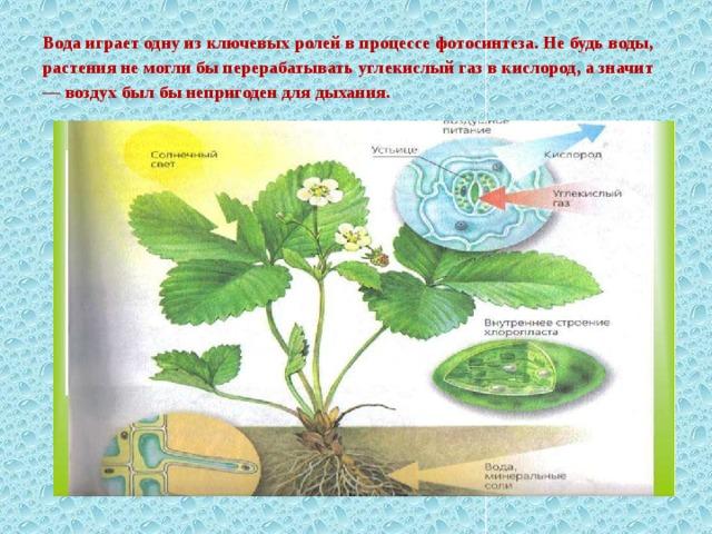 Вода играет одну из ключевых ролей в процессе фотосинтеза. Не будь воды, растения не могли бы перерабатывать углекислый газ в кислород, а значит — воздух был бы непригоден для дыхания.