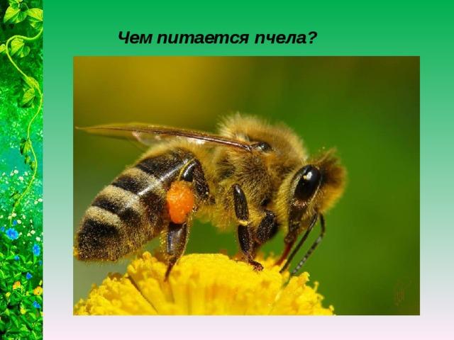 Чем питается пчела?