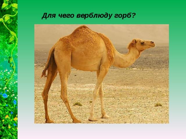 Для чего верблюду горб?