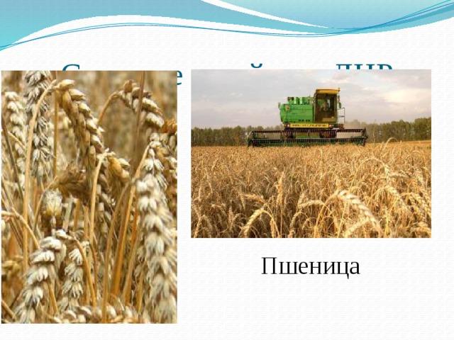 Сельское хозяйство ДНР Пшеница