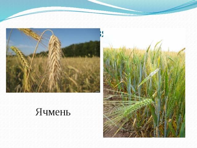 Сельское хозяйство ДНР Ячмень