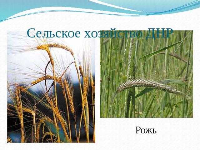 Сельское хозяйство ДНР Рожь