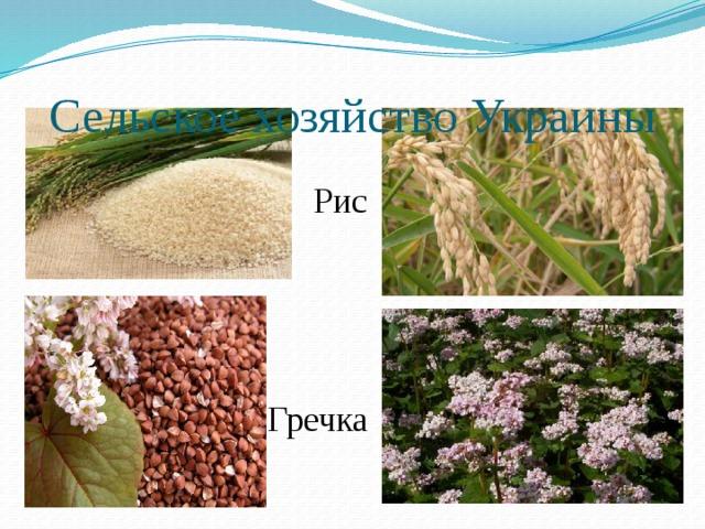 Сельское хозяйство Украины Рис Гречка