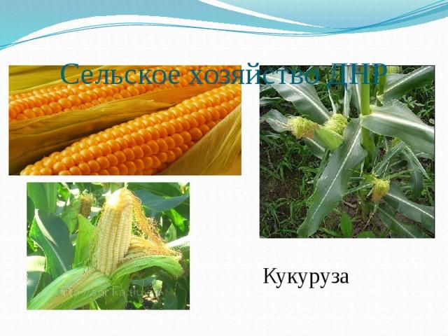 Сельское хозяйство ДНР Кукуруза