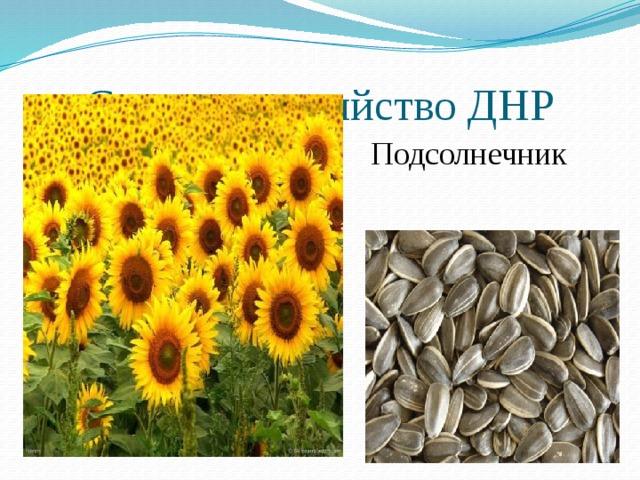 Сельское хозяйство ДНР Подсолнечник