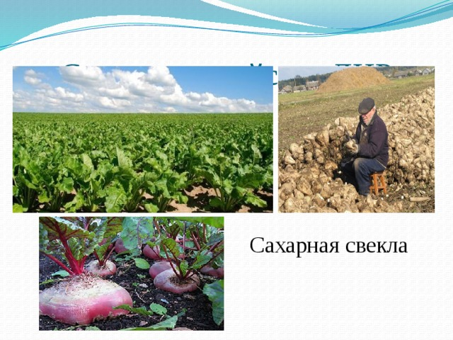 Сельское хозяйство ДНР Сахарная свекла