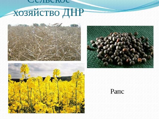 Сельское хозяйство ДНР Рапс