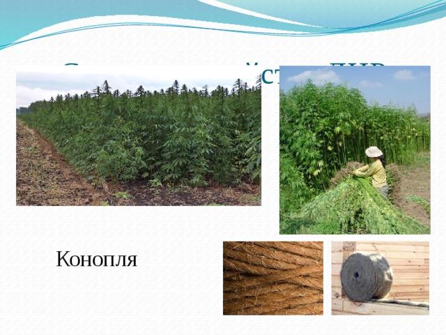 Сельское хозяйство ДНР Конопля