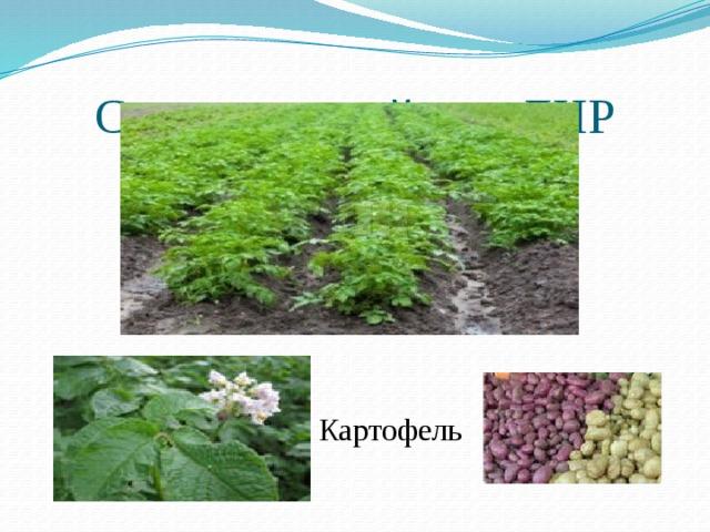 Сельское хозяйство ДНР Картофель