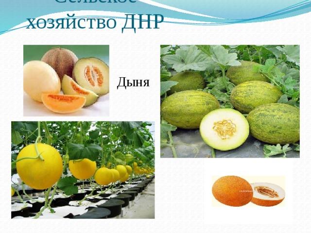 Сельское хозяйство ДНР Дыня