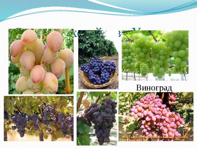 Сельское хозяйство Украины Виноград 3