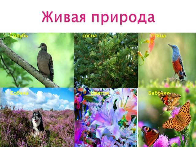 Голубь  сосна  птица          Собака  Цветок Бабочки