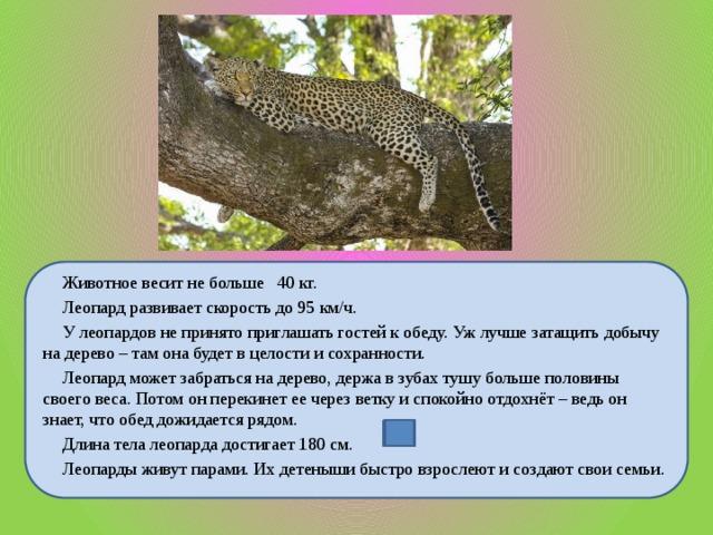 Животное весит не больше 40 кг.  Леопард развивает скорость до 95 км/ч.  У леопардов не принято приглашать гостей к обеду. Уж лучше затащить добычу на дерево – там она будет в целости и сохранности.  Леопард может забраться на дерево, держа в зубах тушу больше половины своего веса. Потом он перекинет ее через ветку и спокойно отдохнёт – ведь он знает, что обед дожидается рядом.  Длина тела леопарда достигает 180 см.  Леопарды живут парами. Их детеныши быстро взрослеют и создают свои семьи.