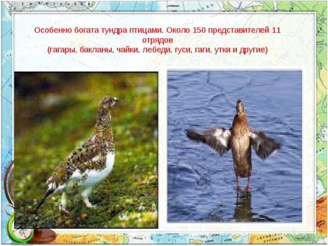 Особенно богата тундра птицами. Около 150 представителей 11 отрядов (гагары, бакланы, чайки, лебеди, гуси, гаги, утки и другие)