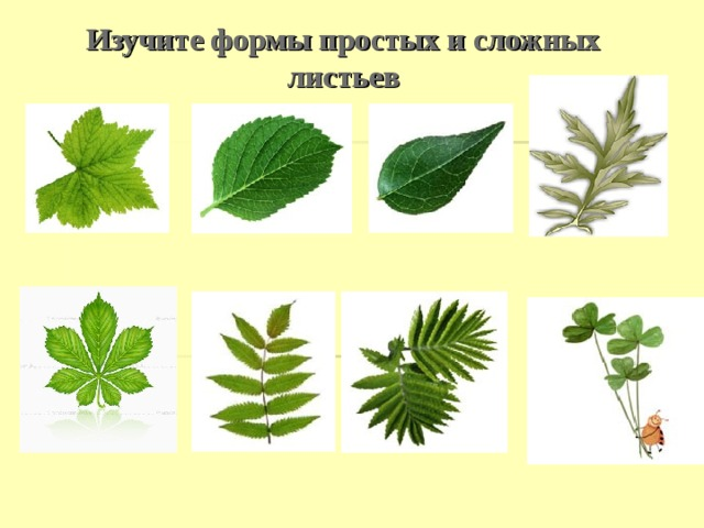 Изучите формы простых и сложных листьев