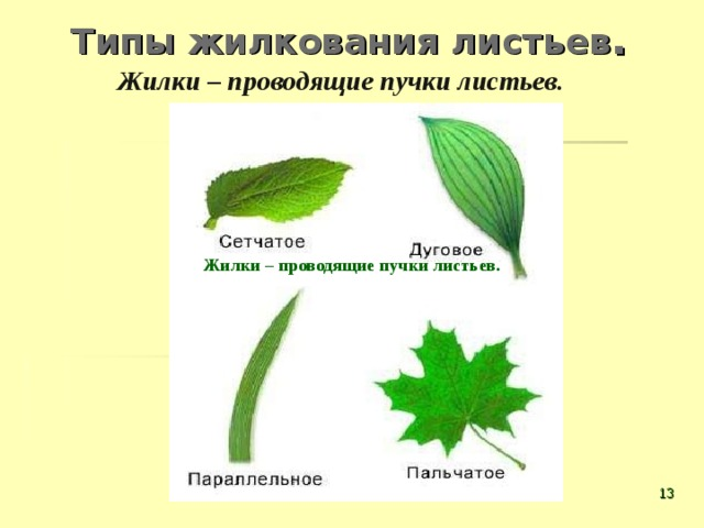 Типы жилкования листьев . Жилки – проводящие пучки листьев. Жилки – проводящие пучки листьев.