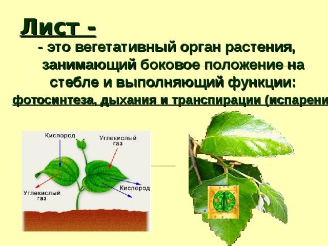 Лист - - это вегетативный орган растения, занимающий боковое положение на стебле и выполняющий функции: фотосинтеза, дыхания и транспирации (испарения).