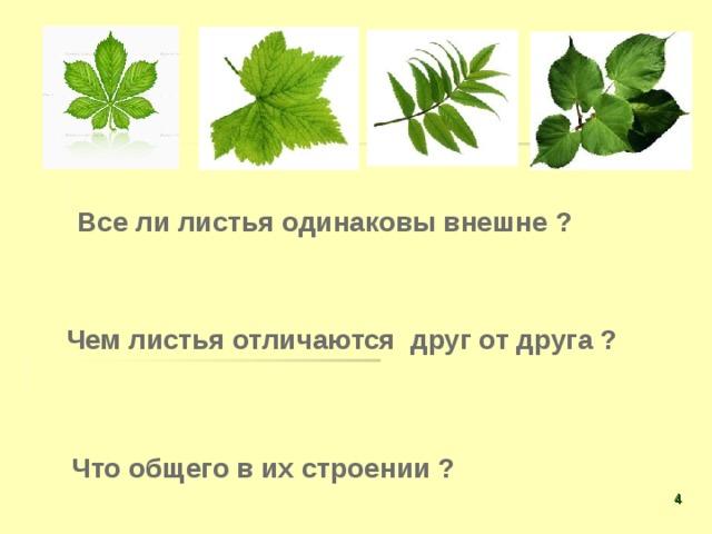 Все ли листья одинаковы внешне ? Чем листья отличаются друг от друга ? Что общего в их строении ?