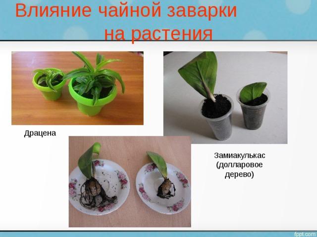 Влияние чайной заварки на растения Драцена Замиакулькас (долларовое дерево)