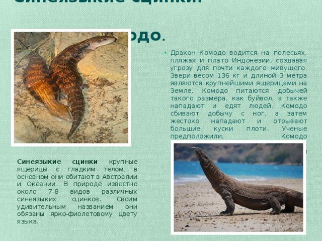Синеязыкие сцинки.  Дракон Комодо . Дракон Комодо водится на полесьях, пляжах и плато Индонезии, создавая угрозу для почти каждого живущего. Звери весом 136 кг и длиной 3 метра являются крупнейшими ящерицами на Земле. Комодо питаются добычей такого размера, как буйвол, а также нападают и едят людей. Комодо сбивают добычу с ног, а затем жестоко нападают и отрывают большие куски плоти. Ученые предположили, Комодо эволюционировали, чтобы питаться ныне вымершими карликовыми слонами острова. Синеязыкие сцинки крупные ящерицы с гладким телом, в основном они обитают в Австралии и Океании. В природе известно около 7-8 видов различных синеязыких сцинков. Своим удивительным названием они обязаны ярко-фиолетовому цвету языка.