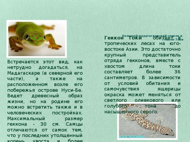 Большой мадагаскарский геккон и  Геккон Токи    Геккон Токи  обитает в тропических лесах на юго-востоке Азии. Это достаточно крупный представитель отряда гекконов, вместе с хвостом длина токи составляет более 36 сантиметров. В зависимости от условий обитания и самочувствия ящерицы окраска может меняться от светлого оливкового или голубого тона до насыщенного серого. Встречается этот вид, как нетрудно догадаться, на Мадагаскаре (в северной его части), а также на расположенном возле его побережья острове Нуси-Бе. Ведет древесный образ жизни, но на родине его можно встретить также и в человеческих постройках. Максимальный размер геккона - 30 см. Самцы отличаются от самок тем, что у последних утолщенный корень хвоста и более широкая голова.