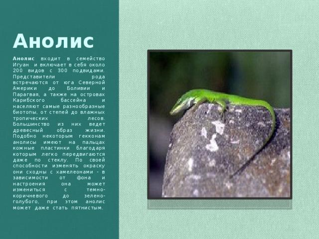 Анолис Анолис входит в семейство Игуан и включает в себя около 200 видов с 300 подвидами. Представители рода встречаются от юга Северной Америки до Боливии и Парагвая, а также на островах Карибского бассейна и населяют самые разнообразные биотопы, от степей до влажных тропических лесов. Большинство из них ведет древесный образ жизни. Подобно некоторым гекконам анолисы имеют на пальцах кожные пластинки благодаря которым легко передвигаются даже по стеклу. По своей способности изменять окраску они сходны с хамелеонами - в зависимости от фона и настроения она может измениться с темно-коричневого до зелено-голубого, при этом анолис может даже стать пятнистым.