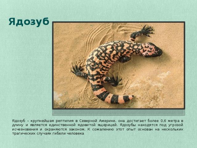 Ядозуб Ядозуб – крупнейшая рептилия в Северной Америке, она достигает более 0,6 метра в длину и является единственной ядовитой ящерицей. Ядозубы находятся под угрозой исчезновения и охраняются законом. К сожалению этот опыт основан на нескольких трагических случаях гибели человека