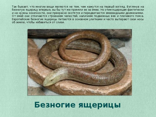 Так бывает, что многие вещи являются не тем, чем кажутся на первый взгляд. Взглянув на безногую ящерицу впервые, вы бы тут же приняли ее за змею. Но этим ящерицам фактически и не нужны конечности, они прекрасно охотятся и передвигаются змеевидными движениями. От змей они отличаются строением челюстей, наличием подвижных век и плечевого пояса. Европейские безногие ящерицы питаются в основном улитками и часто вытирают свои носы об землю, чтобы избавиться от слизи. Безногие ящерицы