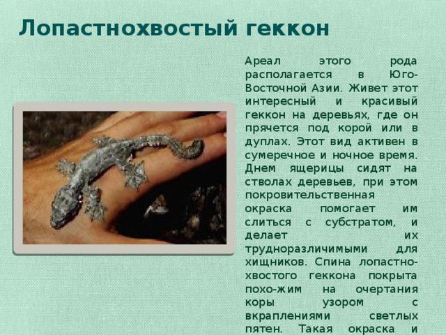 Лопастнохвостый геккон   Ареал этого рода располагается в Юго-Восточной Азии. Живет этот интересный и красивый геккон на деревьях, где он прячется под корой или в дуплах. Этот вид активен в сумеречное и ночное время. Днем ящерицы сидят на стволах деревьев, при этом покровительственная окраска помогает им слиться с субстратом, и делает их трудноразличимыми для хищников. Спина лопастно-хвостого геккона покрыта похо-жим на очертания коры узором с вкраплениями светлых пятен. Такая окраска и создает оптический эффект делающий его незаметным.