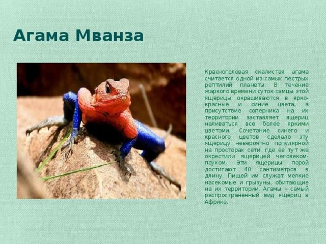 Агама Мванза    Красноголовая скалистая агама считается одной из самых пестрых рептилий планеты. В течение жаркого времени суток самцы этой ящерицы окрашиваются в ярко-красные и синие цвета, а присутствие соперника на их территории заставляет ящериц наливаться все более яркими цветами. Сочетание синего и красного цветов сделало эту ящерицу невероятно популярной на просторах сети, где ее тут же окрестили ящерицей человеком-пауком. Эти ящерицы порой достигают 40 сантиметров в длину. Пищей им служат мелкие насекомые и грызуны, обитающие на их территории. Агамы – самый распространенный вид ящериц в Африке.