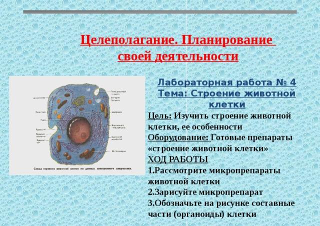 Целеполагание. Планирование своей деятельности Лабораторная работа № 4 Тема: Строение животной клетки Цель: Изучить строение животной клетки, ее особенности Оборудование: Готовые препараты «строение животной клетки» ХОД РАБОТЫ 1.Рассмотрите микропрепараты животной клетки 2.Зарисуйте микропрепарат 3.Обозначьте на рисунке составные части (органоиды) клетки