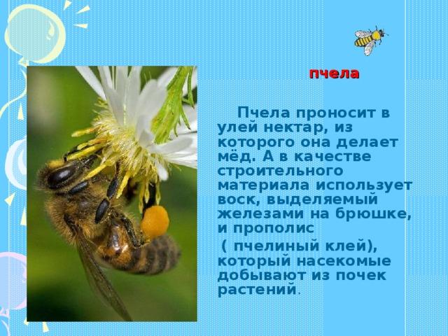 пчела  Пчела проносит в улей нектар, из которого она делает мёд. А в качестве строительного материала использует воск, выделяемый железами на брюшке, и прополис  ( пчелиный клей), который насекомые добывают из почек растений .