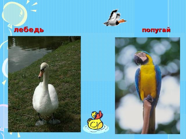 лебедь  попугай