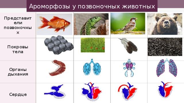 Ароморфозы у позвоночных животных Представители позвоночных Покровы тела Органы дыхания Сердце