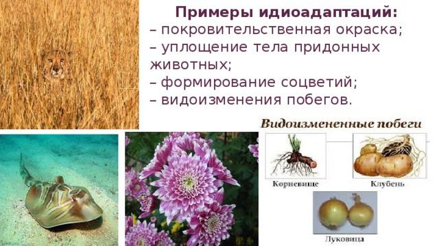 Примеры идиоадаптаций: – покровительственная окраска; – уплощение тела придонных животных; – формирование соцветий; – видоизменения побегов.