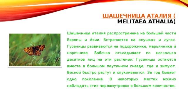ШАШЕЧНИЦА АТАЛИЯ ( MELITAEA ATHALIA)   Шашечница аталия распространена на большей части Европы и Азии. Встречается на опушках и лугах. Гусеницы развиваются на подорожнике, марьяннике и норичнике. Бабочка откладывает по несколько десятков яиц на эти растения. Гусеницы остаются вместе в большом паутинном гнезде, где и зимуют. Весной быстро растут и окукливаются. За год бывает одно поколение. В некоторых местах можно наблюдать этих перламутровок в большом количестве.