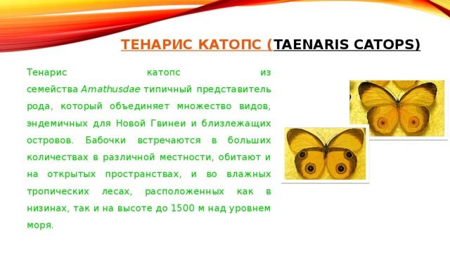 ТЕНАРИС КАТОПС ( TAENARIS CATOPS)   Тенарис катопс из семейства Amathusdae типичный представитель рода, который объединяет множество видов, эндемичных для Новой Гвинеи и близлежащих островов. Бабочки встречаются в больших количествах в различной местности, обитают и на открытых пространствах, и во влажных тропических лесах, расположенных как в низинах, так и на высоте до 1500 м над уровнем моря.
