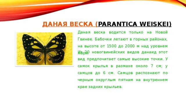 ДАНАЯ ВЕСКА ( PARANTICA WEISKEI)    Даная веска водится только на Новой Гвинее. Бабочки летают в горных районах, на высоте от 1500 до 2000 м над уровнем моря. Из 20 новогвинейских видов данаид этот вид предпочитает самые высокие точки. У самок крылья в размахе около 7 см; у самцов до 6 см. Самцов распознают по черным округлым пятнам на внутреннем крае задних крыльев.