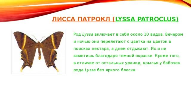 ЛИСС А ПАТРОКЛ ( LYSSA PATROCLUS)   Род Lyssa включает в себя около 10 видов. Вечером и ночью они перелетают с цветка на цветок в поисках нектара, а днем отдыхают. Их и не заметишь благодаря темной окраске. Кроме того, в отличие от остальных уранид, крылья у бабочек рода Lyssa без яркого блеска.