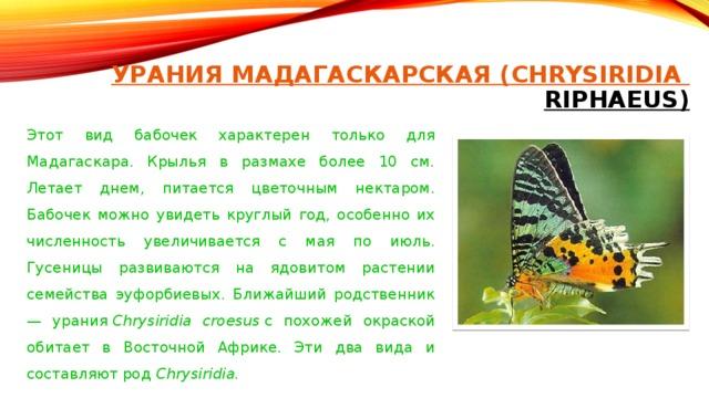 УРАНИЯ МАДАГАСКАРСКАЯ ( CHRYSIRIDIA RIPHAEUS)   Этот вид бабочек характерен только для Мадагаскара. Крылья в размахе более 10 см. Летает днем, питается цветочным нектаром. Бабочек можно увидеть круглый год, особенно их численность увеличивается с мая по июль. Гусеницы развиваются на ядовитом растении семейства эуфорбиевых. Ближайший родственник — урания Chrysiridia croesus с похожей окраской обитает в Восточной Африке. Эти два вида и составляют род Chrysiridia.