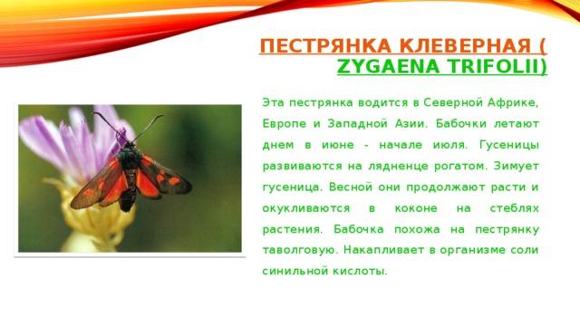 ПЕСТРЯНКА КЛЕВЕРНАЯ ( ZYGAENA TRIFOLII)   Эта пестрянка водится в Северной Африке, Европе и Западной Азии. Бабочки летают днем в июне - начале июля. Гусеницы развиваются на лядненце рогатом. Зимует гусеница. Весной они продолжают расти и окукливаются в коконе на стеблях растения. Бабочка похожа на пестрянку таволговую. Накапливает в организме соли синильной кислоты.
