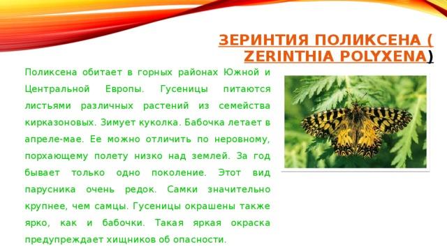 ЗЕРИНТИЯ ПОЛИКСЕНА ( ZERINTHIA POLYXENA )    Поликсена обитает в горных районах Южной и Центральной Европы. Гусеницы питаются листьями различных растений из семейства кирказоновых. Зимует куколка. Бабочка летает в апреле-мае. Ее можно отличить по неровному, порхающему полету низко над землей. За год бывает только одно поколение. Этот вид парусника очень редок. Самки значительно крупнее, чем самцы. Гусеницы окрашены также ярко, как и бабочки. Такая яркая окраска предупреждает хищников об опасности.