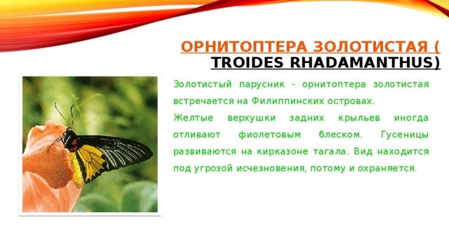 ОРНИТОПТЕРА ЗОЛОТИСТАЯ ( TROIDES RHADAMANTHUS)   Золотистый парусник - орнитоптера золотистая встречается на Филиппинских островах. Желтые верхушки задних крыльев иногда отливают фиолетовым блеском. Гусеницы развиваются на кирказоне тагала. Вид находится под угрозой исчезновения, потому и охраняется.