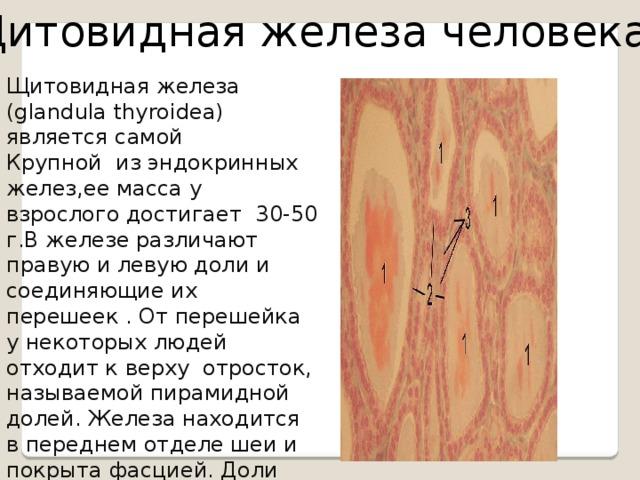 Щитовидная железа человека Щитовидная железа (glandula thyroidea) является самой Крупной из эндокринных желез,ее масса у взрослого достигает 30-50 г.В железе различают правую и левую доли и соединяющие их перешеек . От перешейка у некоторых людей отходит к верху отросток, называемой пирамидной долей. Железа находится в переднем отделе шеи и покрыта фасцией. Доли железы прилежат к щитовидному хрящу гортани и к хрящам трахеи; перешеек расположен в переди 2-4 трахеальных колец.