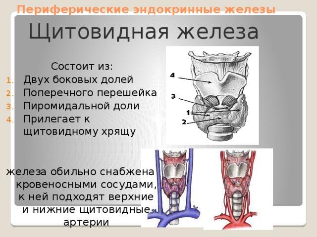 Периферические эндокринные железы Щитовидная железа Состоит из: Двух боковых долей Поперечного перешейка Пиромидальной доли Прилегает к щитовидному хрящу железа обильно снабжена кровеносными сосудами, к ней подходят верхние и нижние щитовидные артерии