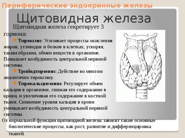 Периферические эндокринные железы Щитовидная железа Щитовидная железа секретирует 3 гормона: Тироксин: Усиливает процессы окисления жиров, углеводов и белков в клетках, ускоряя, таким образом, обмен веществ в организме. Повышает возбудимость центральной нервной системы. Трийодтиронин: Действие во многом аналогично тироксину. Тирокальцитонин: Регулирует обмен кальция в организме, снижая его содержание в крови, и увеличивая его содержание в костной ткани. Снижение уровня кальция в крови уменьшает возбудимость центральной нервной системы. От нормальной функции щитовидной железы зависят такие основные биологические процессы, как рост, развитие и дифференцировка тканей.
