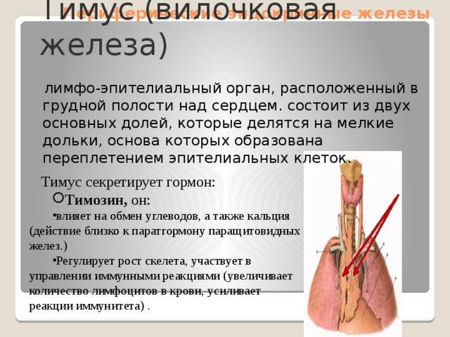 Периферические эндокринные железы Тимус (вилочковая железа)  лимфо-эпителиальный орган, расположенный в грудной полости над сердцем. состоит из двух основных долей, которые делятся на мелкие дольки, основа которых образована переплетением эпителиальных клеток. Тимус секретирует гормон: