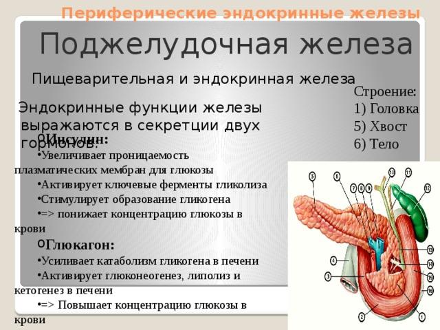 Периферические эндокринные железы Поджелудочная железа  Пищеварительная и эндокринная железа Строение: 1) Головка 5) Хвост 6) Тело  Эндокринные функции железы выражаются в секретции двух гормонов: